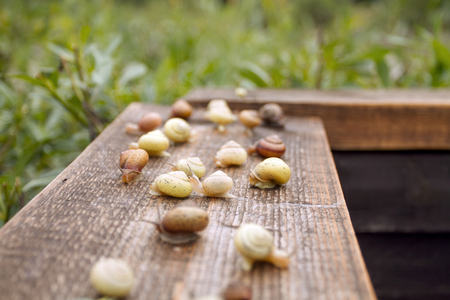Group of Snails on the Wooden Plank. Wild Life of Snails in the Nature Stock Photo