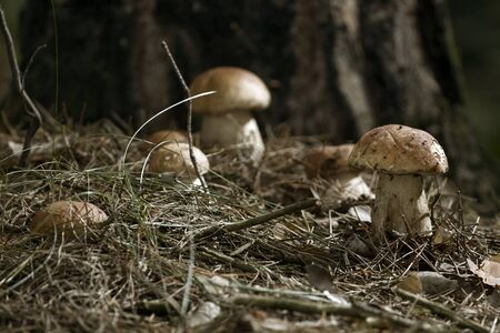 Beautiful fresh edible mushrooms, porcini mushrooms in the woods. Family of Boletus Porcini mushroom surrounded by plants is on a forest floor