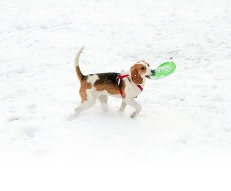 Happy hound dog are running outdoors in white snow. Happy dog pet