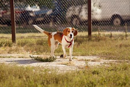 Happy hound dog are running outdoors. Happy dog pet