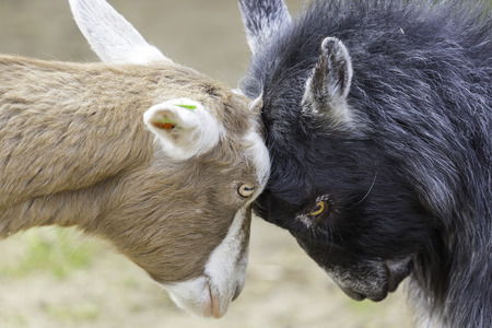 Goats Butting Heads  fighting  photo