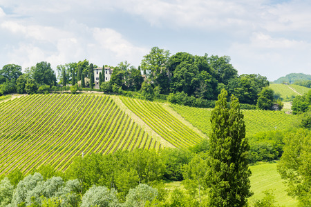piacenza: Lines of grapes in Vineyards of Piacenza, Italy.