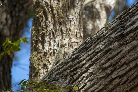 uva: chameleon, Chamaeleo zeylanicus Stock Photo