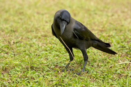 An Indian house crow on green grass photographed in Sri Lanka.