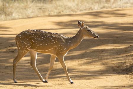 axis: Ciervos eje de Sri Lanka