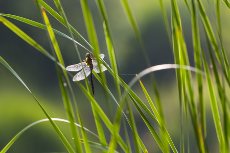 anisoptera: A droganfly sitting on reeds that is backlit so the veins in its wings are highly detailed. Stock Photo