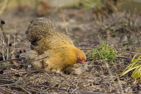 A Sicilian Buttercup Chicken feeding and looking for grain. Stock Photo
