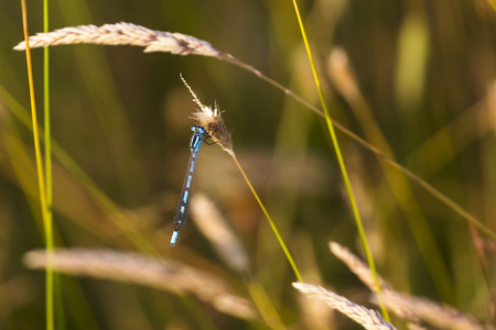 damsel: Common Blue Damsel Fly sitting on a stem of brown grass.