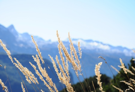 Flower grass on mountain Stock Photo - 12605116