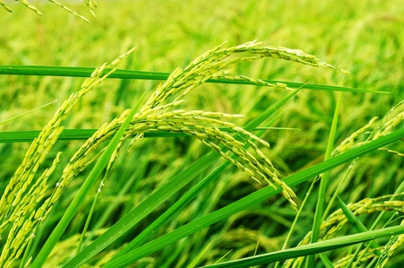 green paddy rice photo