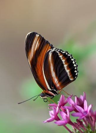 plants species: Banded Arancione Butterfly on Flowers Pink Star Archivio Fotografico