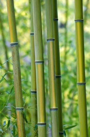 bamboo tree: Bamboo Tree Closeup Stock Photo