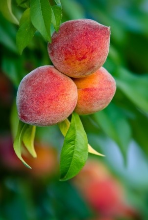 Peaches hanging on a tree branch photo