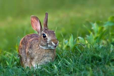 Cottontail rabbit in grass Reklamní fotografie