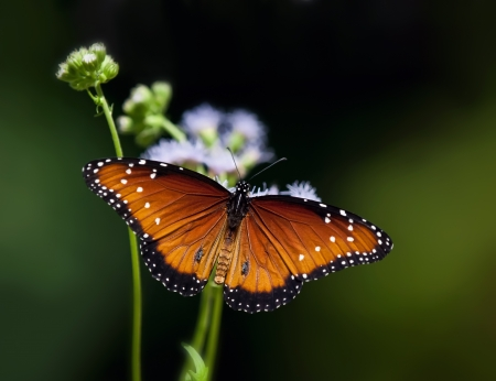Queen butterfly, Danaus gilippus, resting on flowers