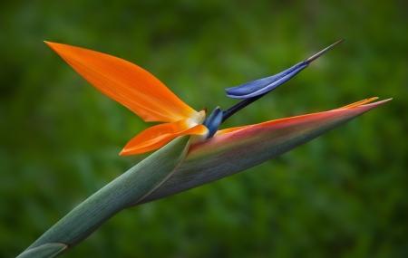 Colorful Bird of Paradise, Strelitzia, flower photo