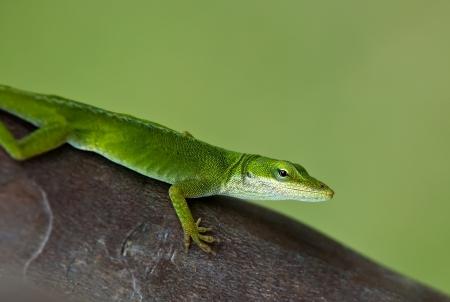 carolinensis: Green Anole lizard on tree trunk Stock Photo