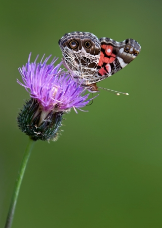 american butterflies: American Lady butterfly on thistle flower Stock Photo
