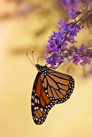Monarch butterfly on purple butterfly bush flowers photo