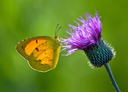 Sleepy mariposa color naranja en la flor de cardo Foto de archivo - 14128108