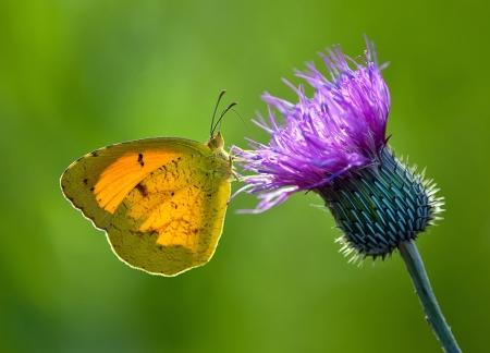 Sleepy Oranje vlinder op distel bloem