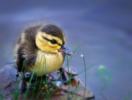 Newborn duckling Stock Photo - 14128110