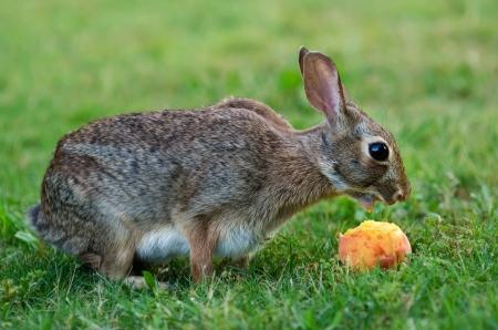 animal vein: Cottontail rabbit eating peach fruit Stock Photo