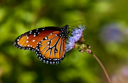 Queen butterfly taking nectar on purple flowers photo