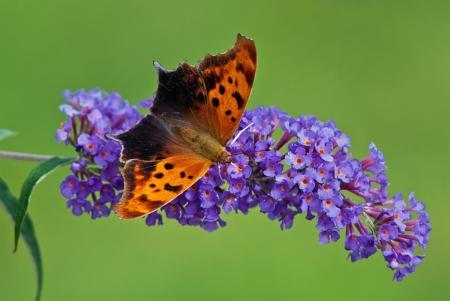 Question Mark butterfly on purple butterfly bush flowers photo