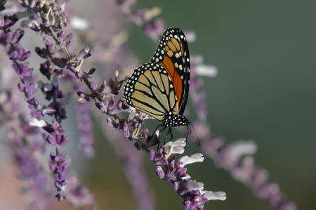 Monarch butterfly on purple salvia flowers photo