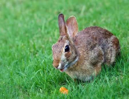 Cottontail rabbit bunny eating carrot photo
