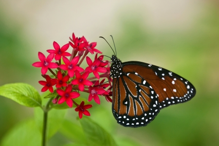 Queen butterfly on red star flowers