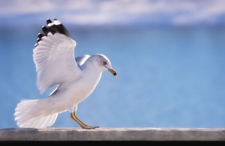 Sea Gull perched against blue background