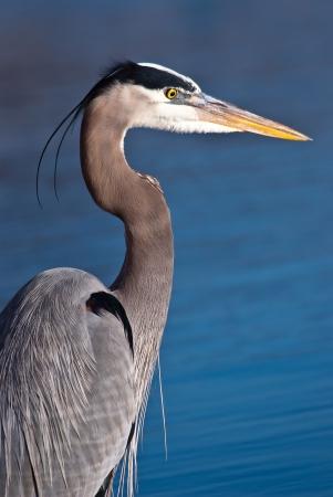 great blue heron: Great Blue Heron, Ardea herodias