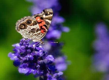 plants species: Americana Lady farfalla sui fiori di salvia Archivio Fotografico