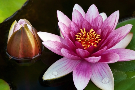 Pink water lily and flower bud