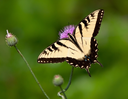 butterfly wings: Eastern Tiger Swallowtail butterfly, Papilio glaucus