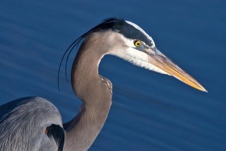 herodias: Blue Heron, Ardea herodias, closeup