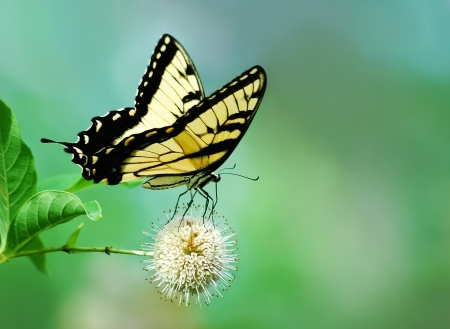 animal vein: Eastern Tiger Swallowtail butterfly (Papilio glaucus) on buttonbush (Cephalanthus occidentalis) flower