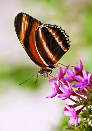 Banded Orange butterfly on pink star flowers photo