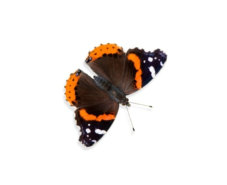 vanessa: Red Admiral butterfly  Vanessa atalanta  on white Stock Photo