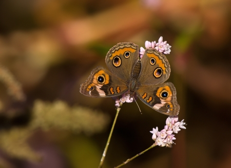 Common Buckeye butterfly  Junonia coenia  on pink fall flowers photo