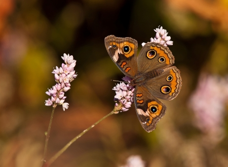 Common Buckeye butterfly  Junonia coenia  on pink fall flowers Stockfoto