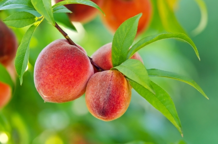 Delicious peaches hanging on a tree branch photo