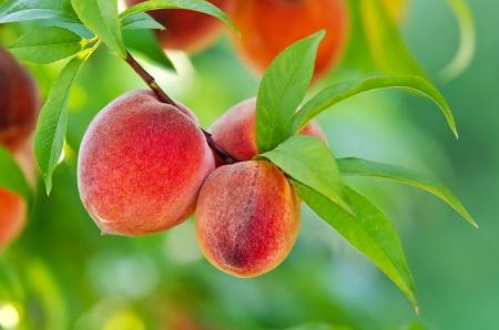 Köstliche Pfirsiche hängen auf einem Ast Standard-Bild - 14763110