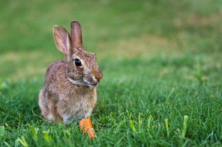 Cottontail rabbit bunny eating carrot Stock Photo - 14763118