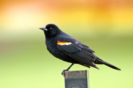 Red-winged Blackbird (Agelaius phoeniceus) perched on fence photo