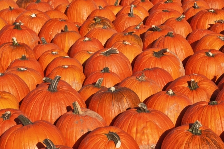 Pumpkin patch Stock Photo - 14849047