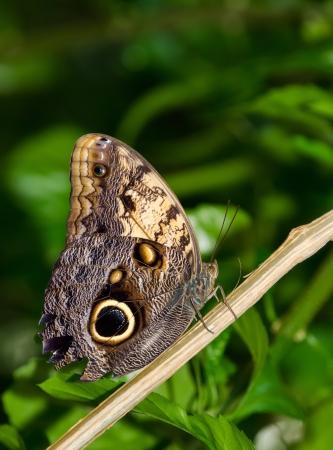 eyespot: Owl butterfly (Caligo)