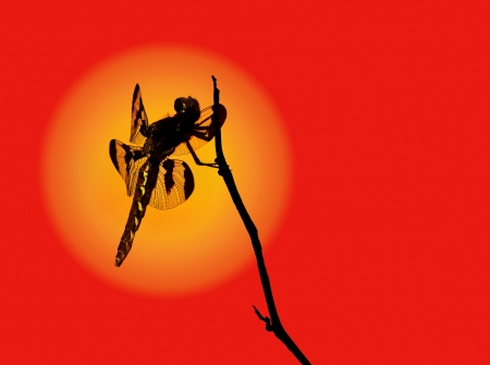 Dragonfly silhouette photo